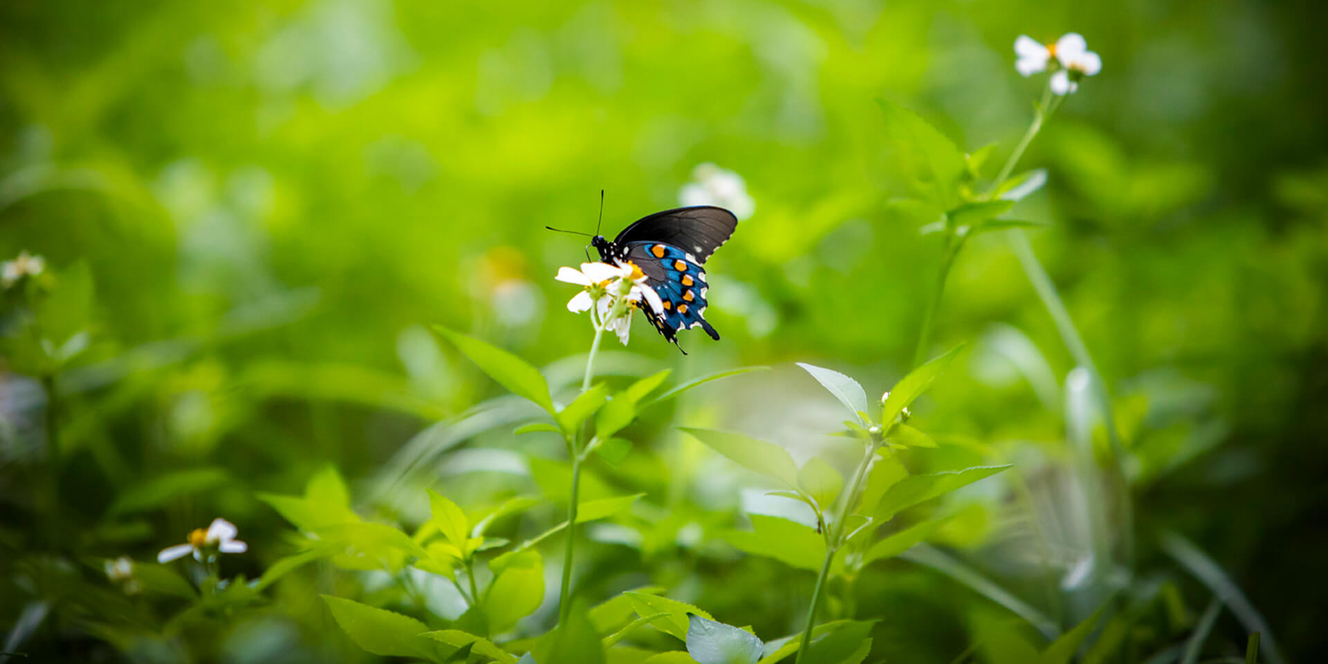 Image of a butterfly that's sitting atop a wildflower with greenery behind.